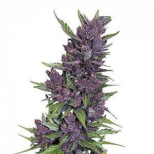 Сорт семян конопли Auto Purple