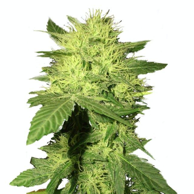 Семена конопли почтой платежом марихуану купить москва